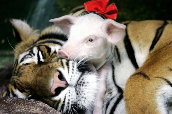 Animales-que-adoptan-P-549x366